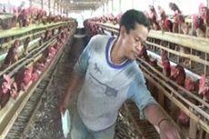 Januari-Maret 2019, Banyak Peternak Ayam Rugi hingga Miliaran Rupiah