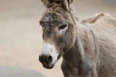 Sering Diburu untuk Obat China, Populasi Keledai Dunia Terancam