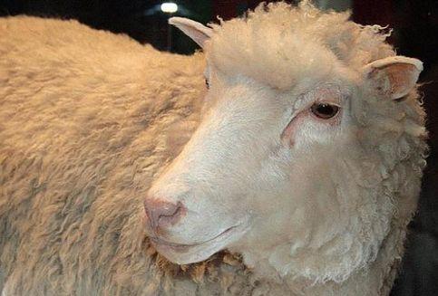 Ternyata, Domba Dolly Tidak Mati karena Dikloning, tetapi...