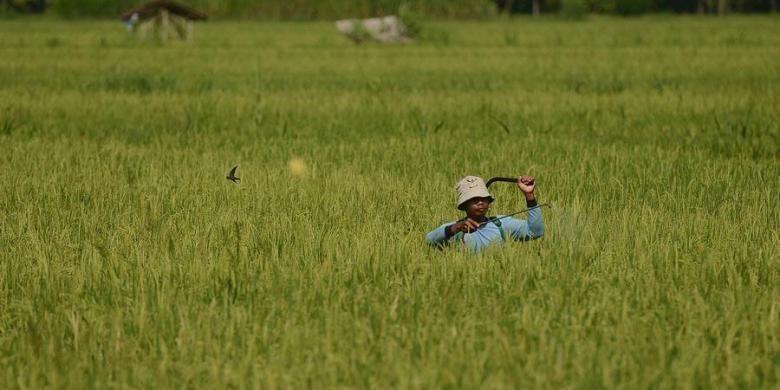 Petani menyemprotkan obat pembasmi hama di Dusun Turi, Desa Giripeni, Wates, Kulon Progo, DI Yogyakarta, Rabu (6/2/2013). Kondisi cuaca yang berubah-ubah membuat petani setempat harus mengantisipasi munculnya hama dengan penyemprotan tersebut agar tetap dapat memperoleh hasil panen. KOMPAS/FERGANATA INDRA RIATMOKO