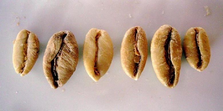 Kopi Liberika (Coffea liberica)