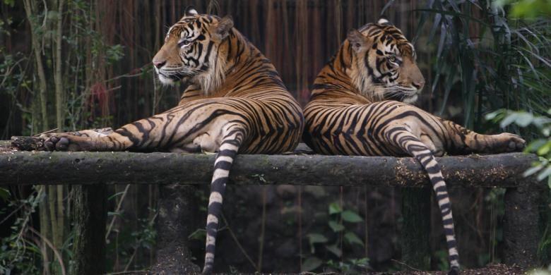 Sepasang Harimau Sumatera (Panthera tigris sumatrae) di Taman Margasatwa Ragunan, Jakarta, Selasa (16/3). Perburuan liar dan perdagangan gelap merupakan ancaman paling serius yang dihadapi satwa dilindungi tersebut saat ini yang kian mendekati kepunahan.