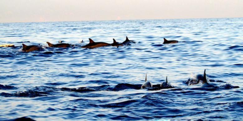 Lumba-lumba di Pantai Lovina, Singaraja, Bali.