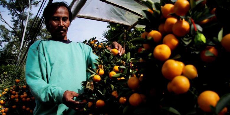Pedagang merapikan sejumlah tanaman pohon jeruk Imlek (kim kat) yang dijual di lapaknya yang berada di kawasan Senayan, Jakarta, Selasa (17/1/2012). Harga tanaman pohon jeruk Imlek tersebut bervariatif anatara Rp 500.000 hingga Rp 1 juta tergantung dari tinggi tanaman dan banyaknya buah.