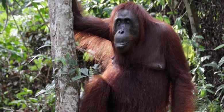 Orangutan di Taman Nasional Tanjung Puting, Kalimantan Tengah, Selasa (26/11/2013).