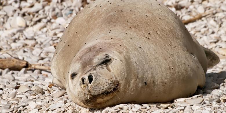 Seekor anjing laut Mediteranea yang sangat langka. Di alam bebas hewan ini hanya tersisa sekitar 600 ekor.