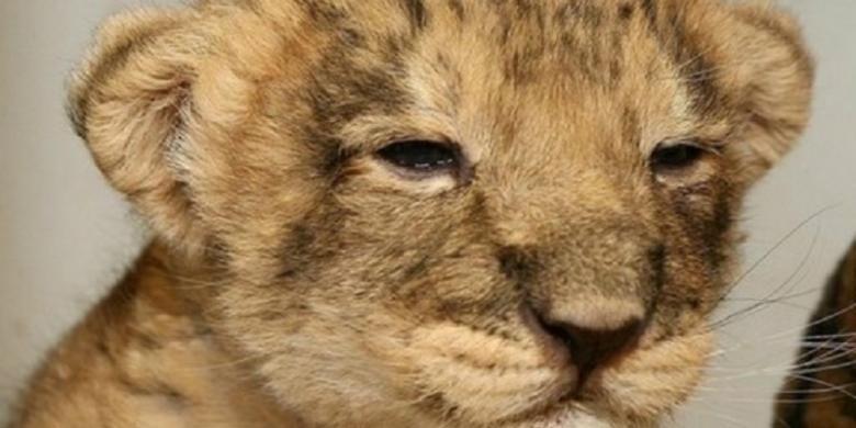 Anak singa ini menuntun penjaga menemukan bangkai ibunya di sebuah bukit