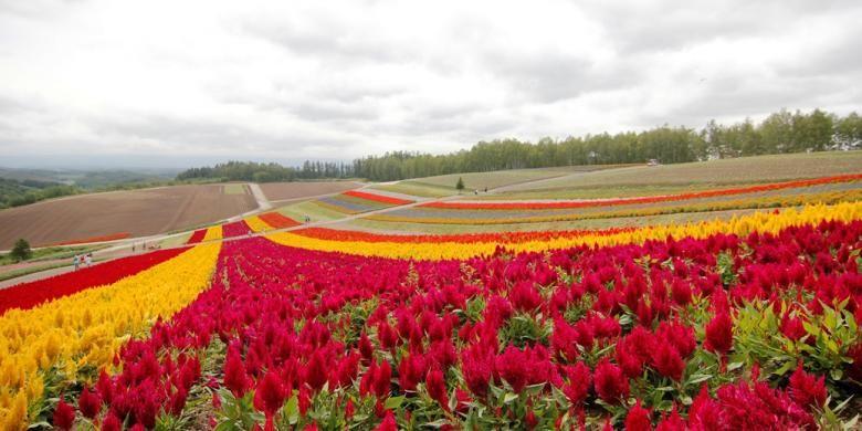 Kebun bunga Shikisai-no-Oka di Hokkaido, memiliki puluhan koleksi bunga yang mekar selama musim panas.