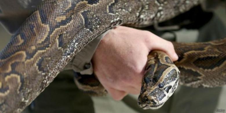 Ilustrasi ular piton.