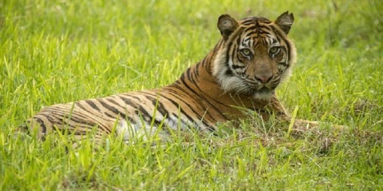Mekar, seekor harimau sumatra yang dilepasliarkan di Pusat Rehabilitasi Harimau Tambling Wildlife Nature Conservation.