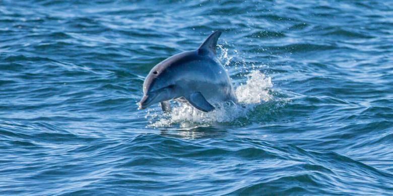 Spesies lumba-lumba hidung botol kerap timbul dan tenggelam berganti-gantian di lautnya.