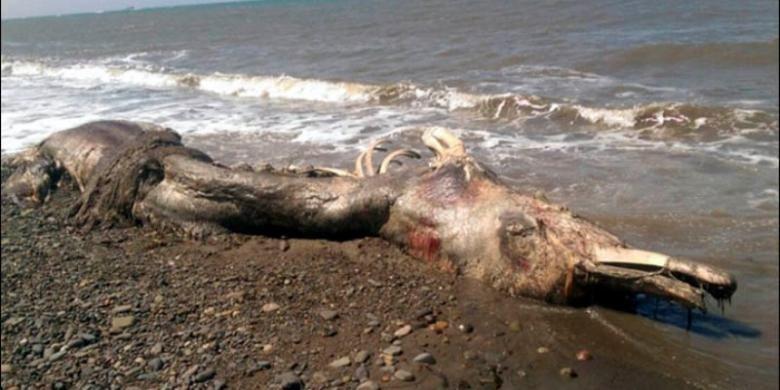 Inilah sisa-sisa bangkai seekor hewan laut misterius yang terdampar di pesisir Pulau Sakhalin, Rusia. Hewan ini memiliki paruh dan bulu, yang membingungkan para pakar biologi kelautan.