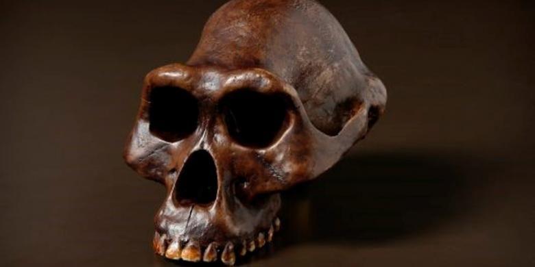 Fosil tengkorak Australopithecus afarensis atau Lucy di Australian Museum.