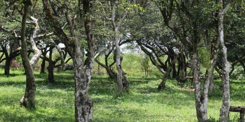 Pohon teh yang tak dipetik dan dipercaya sebagai lahan perkebunan teh pertama di Malabar, Pangalengan, Jawa Barat.