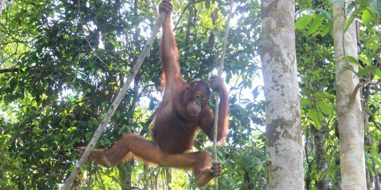 Salah satu Orangutan bernama Elder yang ada di hutan konservasi Samboja Lestari, yang dikelola Yayasan Borneo Orangutan Survival (BOS).