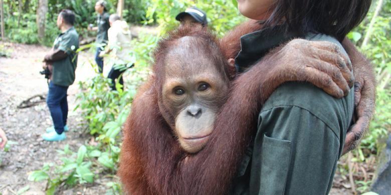 Salah satu orangutan bernama Obi, yang diadopsi oleh PT Bridgestone Indonesia kepada Yayasan Borneo Orangutan Survival (BOS), di hutan konservasi Samboja Lestari, Kalimantan Timur.