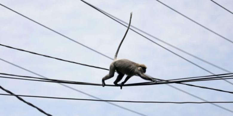 Monyet meniti kabel.