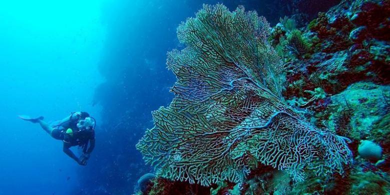Penyelam menikmati keindahan bawah laut di Pantai Waha, Wakatobi, Sulawesi Tenggara, Jumat (24/6/2016).