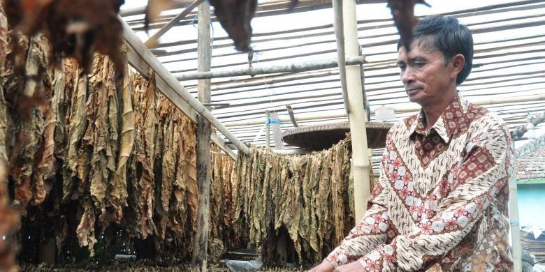:seorang petani tengah menjemur tembakau dipekarangan rumah mereka di dusun Tekelan, desa Batur, Kecamatan Getasan, Kabupaten Semarang, Sabtu (20/8/2016) siang. Petani tembakau pasrah lantaran harga jual tembakau pada musim tanam tahun ini jatuh serta sedikit pembeli.