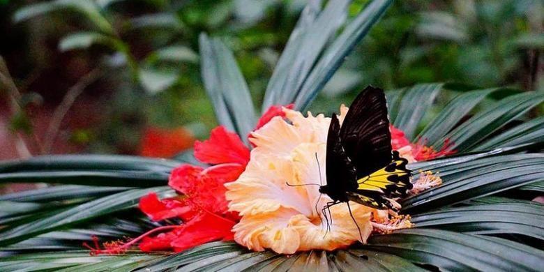 Kupu-kupu jenis Troides di penangkaran Taman Kupu-kupu Gita Persada, Bandar Lampung, awal Juli 2016. Kawasan di kaki Gunung Betung seluas 4,6 hektar itu dulunya lahan kritis dampak pembalakan dan perambahan liar yang direhabilitasi menjadi taman kupu-kupu.