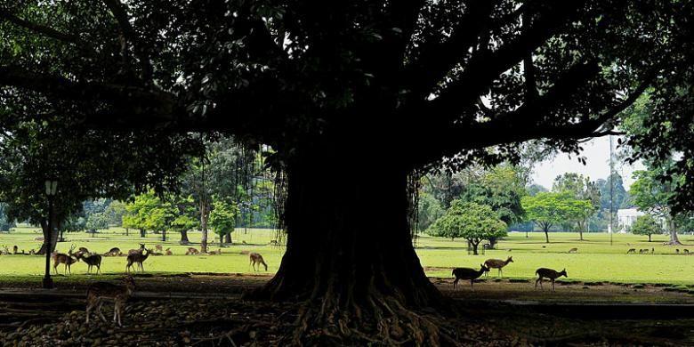 Kawanan rusa bebas berkeliaran di halaman kompleks Istana Bogor, Jawa Barat, Sabtu (30/7/2016). Keberadaan rusa menjadi salah satu daya tarik wisatawan yang berkunjung ke Kebun Raya dan Istana Bogor.