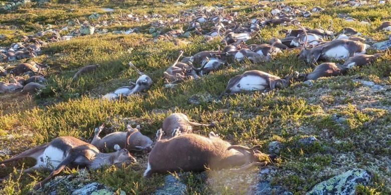 Ratusan ekor rusa dan puluhan anak sapi tewas akibat disambar petir di Dataran Tinggi Hardanangervidda, Norwegia.
