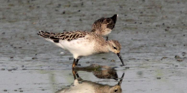 Rusaknya  lingkungan hidup membuat banyak burung migran tidak daapt mengembangkan ruang hidupnya. Demikian juga perburuan satwa liar yang menggunakan senapa angin, racun dan jerat turut andil merosotnya jumlah burung