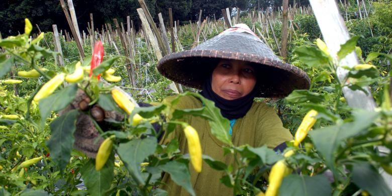 Upah Buruh Tani Meningkat, Kesejahteraan Petani Terdongkrak