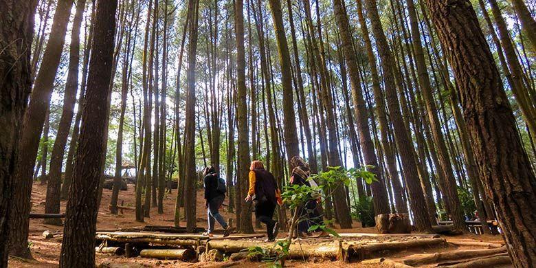 Pengunjung berjalan di antara pohon pinus di Hutan Pinus Mangunan