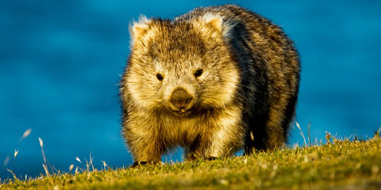 Wombat di Australia yang lucu.