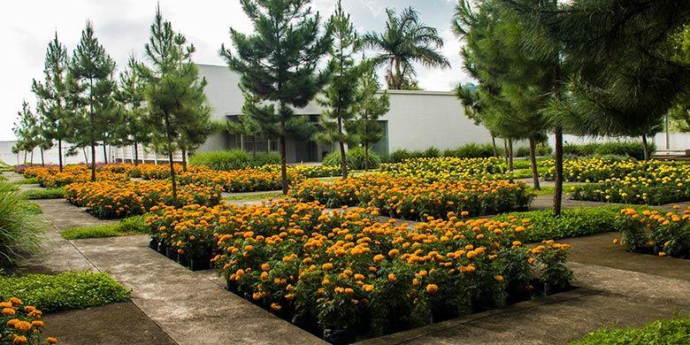 Marigold yang merupakan tanaman atsiri di Rumah Atsiri, Karanganyar.