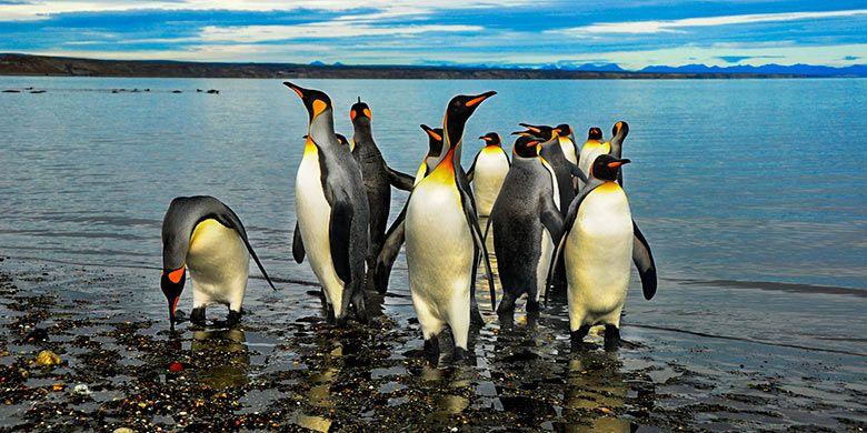 Pinguin di Pulau Tierra del Fuego, Amerika Selatan.