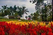 """Indahnya Taman Bunga Alamanda yang """"Instagramable"""" di Jogja"""