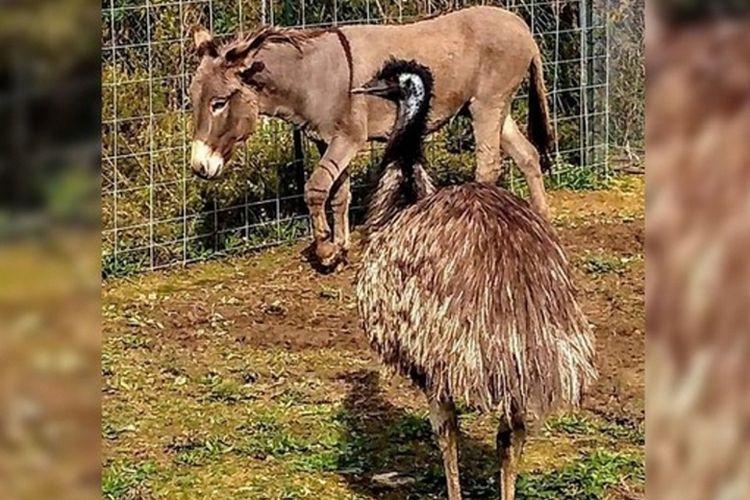 Burung emu dan keledai ini memiliki ikatan kuat. Merea kerap berpelukan dan tidur bersama.