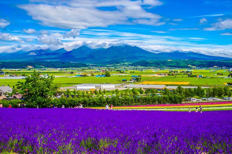Hamparan bunga lavender di Furano.