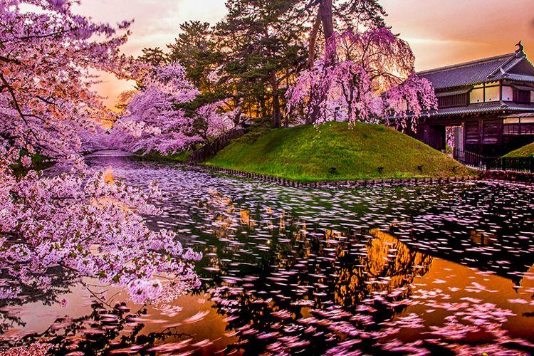Keindahan Bunga Sakura di Perfektur Aomori, Jepang.
