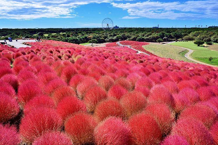 Hitachi Seaside, salah satu taman terbesar di Ibaraki yang terkenal dengan bunga Kochia-nya.