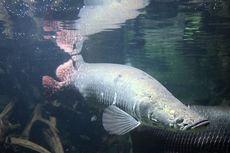 Terkait Penemuan Ikan Arapaima di Brantas, Ini Saran Ahli