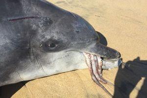 Sembelih dan Goreng Lumba-lumba, 2 Warga Karangasem Ditangkap Polisi