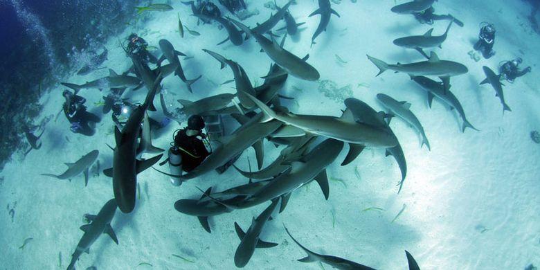 Menyelam dengan hiu di Stuart Coves, Bahama.