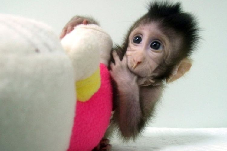 monyet hasil kloning