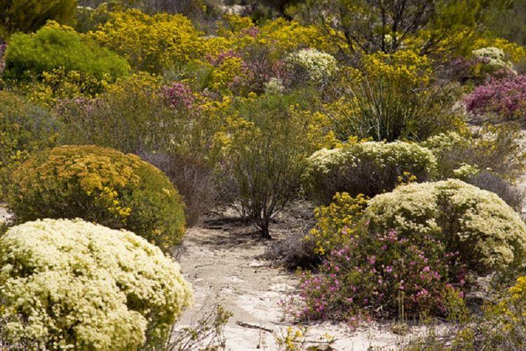 Bunga verticordia, salah satu bunga liar yang sering dijumpai di Hyden pada musim semi.