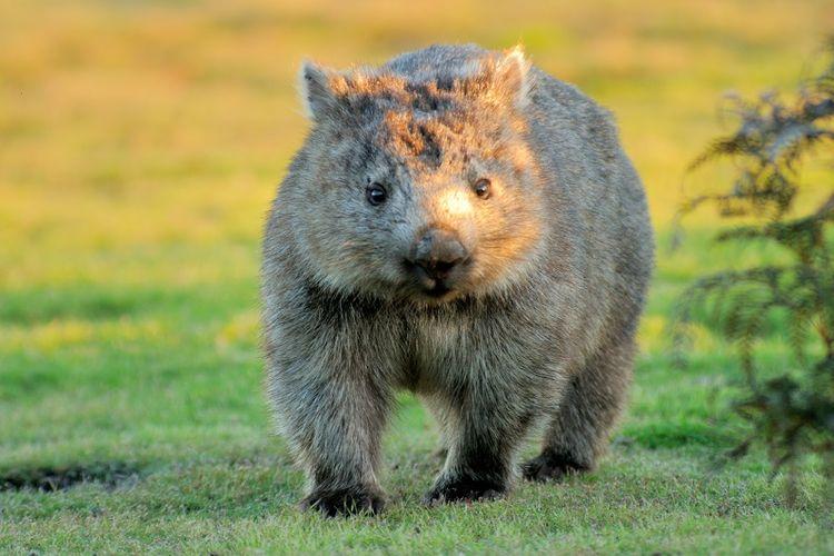 Wombat, binatang khas Australia yang menggemaskan.