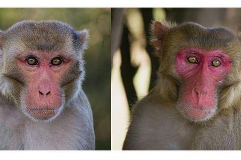 Warga Limboto Gorontalo Ketakutan Diteror Monyet