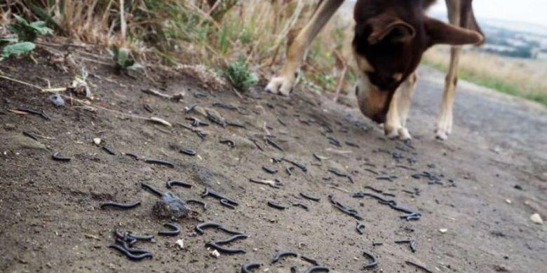 Ribuan hewan kaki seribu memenuhi jalur pejalan kaki di situs Mount Gambier yang popule di Australia Selatan.