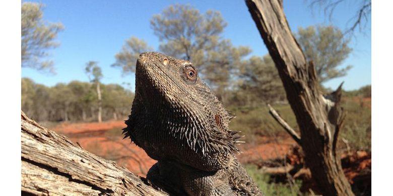 Janin dalam telur kadal bearded dragon bisa mengganti kelamin dari jantan menjadi betina pada suhu 32 derajat Celsius lebih.