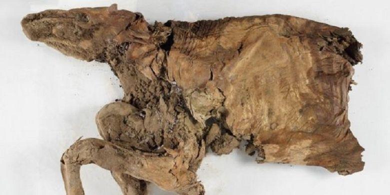 Mumi karibu yang ditemukan di Kanada utara