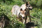 Perancis Bertekad Tingkatkan Populasi Serigala hingga 40 Persen