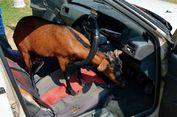 Hendak Menanduk Pemilik Mobil, Kambing Malah Tersangkut di Kemudi