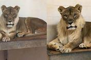 Singa Betina Ini Punya Surai yang Tumbuh Misterius